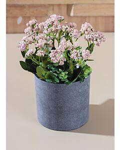 زرع زهور داتورا