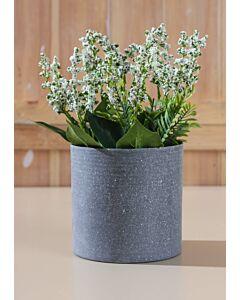 زرع زهور أسونيا
